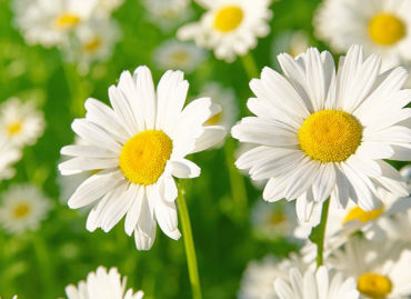 Beauty benefits of Chamomile